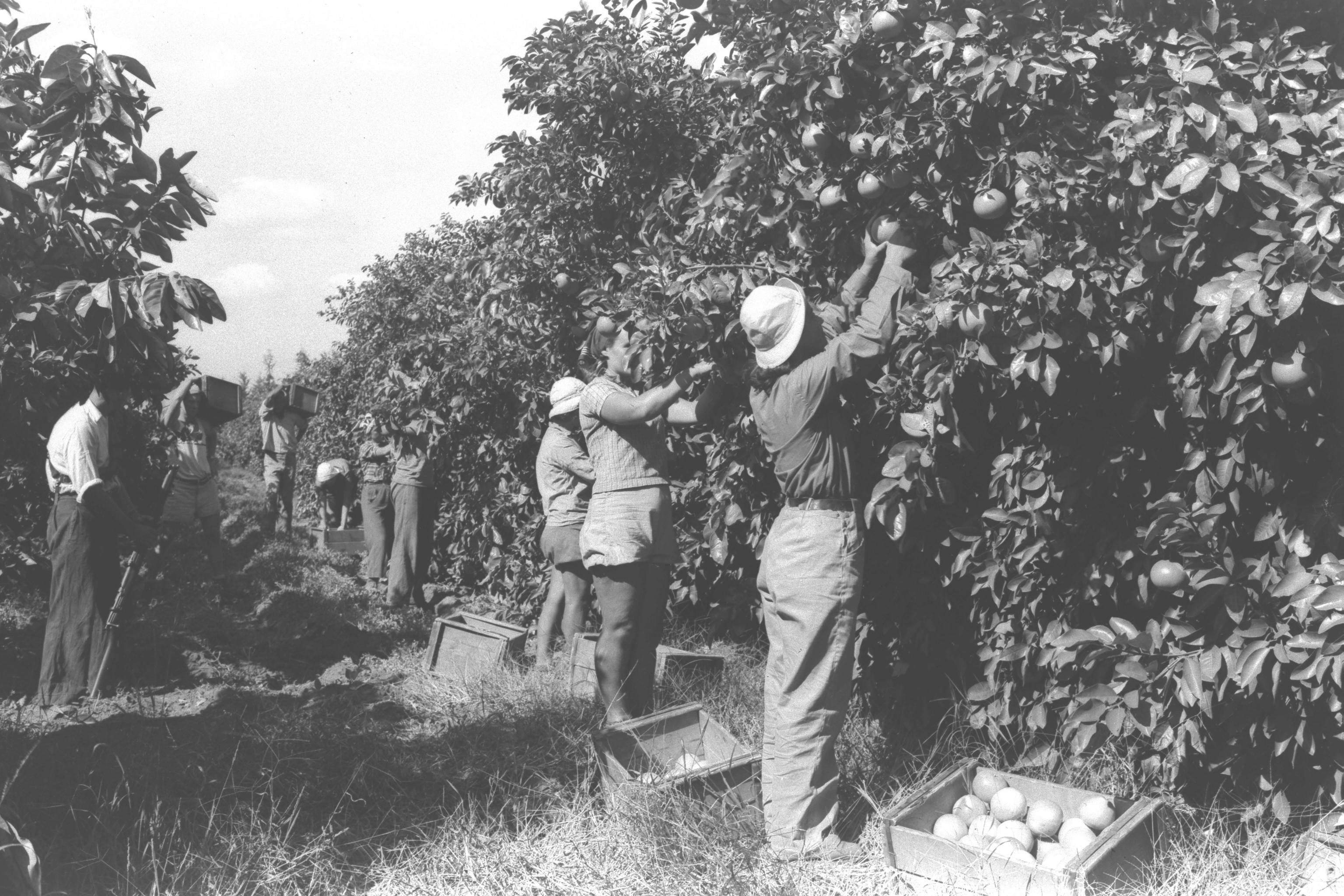 WORKERS IN THE ORANGE GROVE OF KIBBUTZ NA'AN. çìåöéí, òåáãéí á÷èéó úôåæéí á÷éáåõ ðòï.